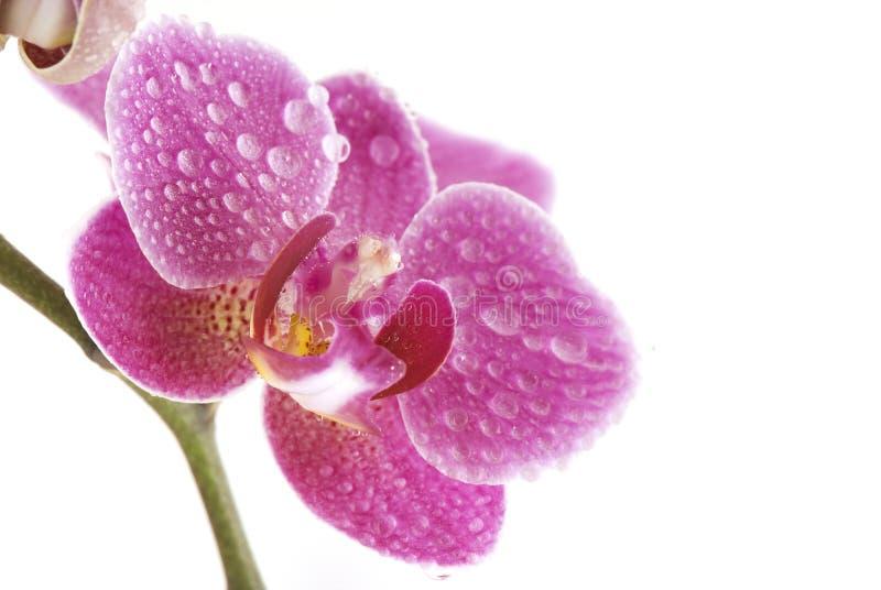 De macro van de orchidee stock foto