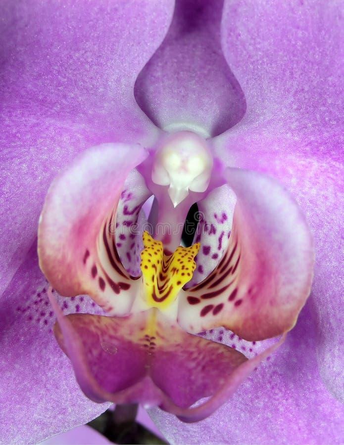De Macro van de orchidee royalty-vrije stock afbeeldingen