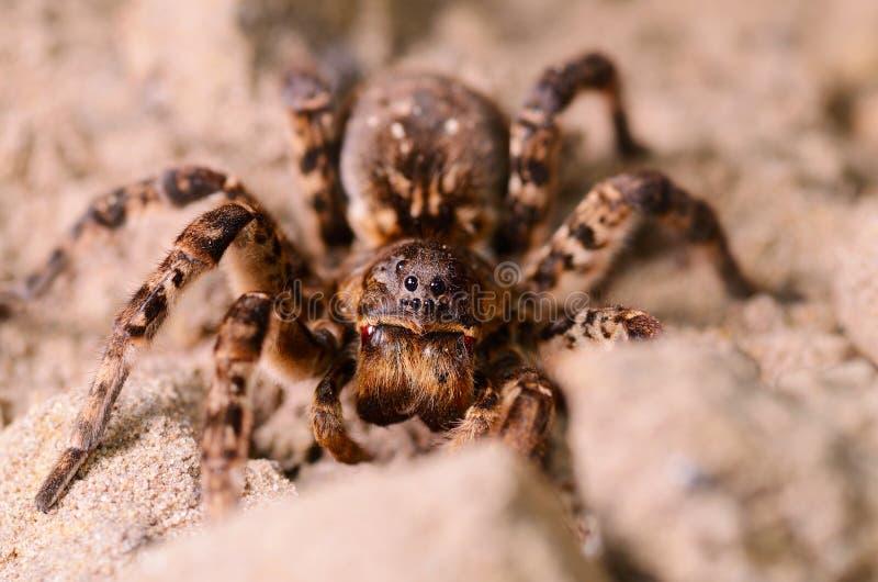 De macro van de tarantulaspin stock foto's