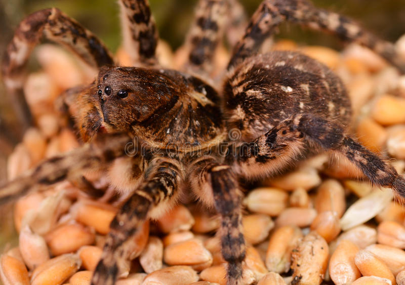 De macro van de tarantulaspin royalty-vrije stock fotografie