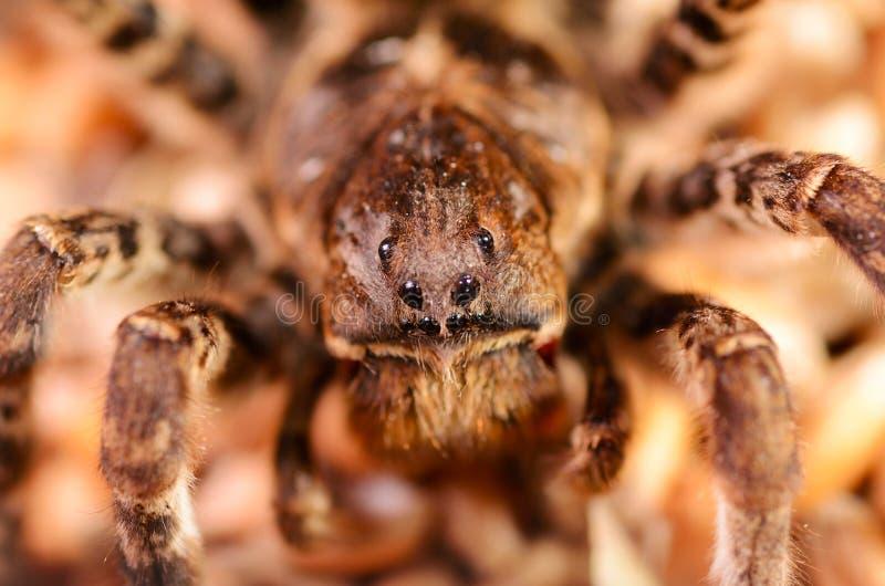 De macro van de tarantulaspin stock afbeelding