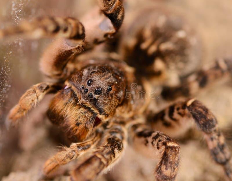De macro van de tarantulaspin royalty-vrije stock foto's