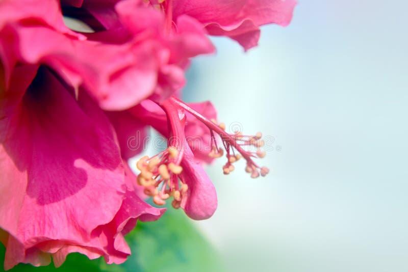 De macro van de hibiscusbloem royalty-vrije stock afbeeldingen