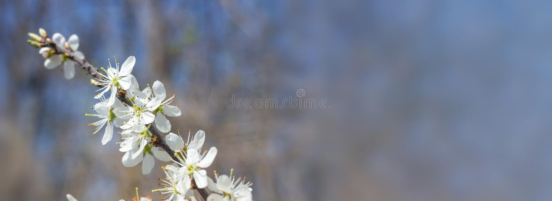 De macro van de kersenboom royalty-vrije stock afbeeldingen