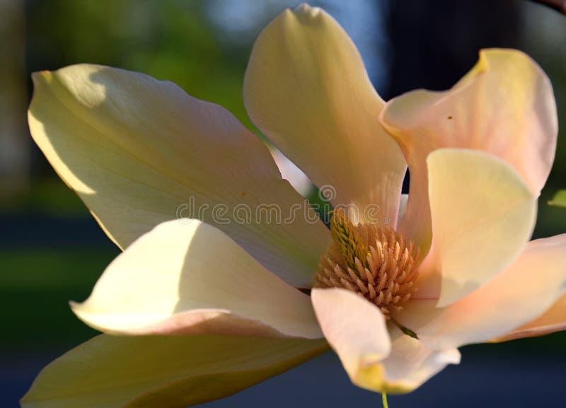 De macro van de magnoliaflamingo, de lentebloem het bloeien stock fotografie