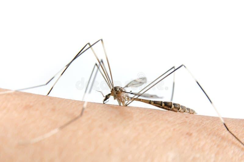 De macro van mug op huid en de muggen zuigen bloed stock foto's