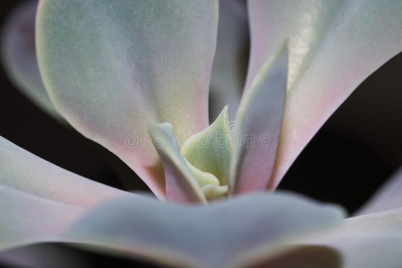 De macro van woestijn nam succulent toe stock foto