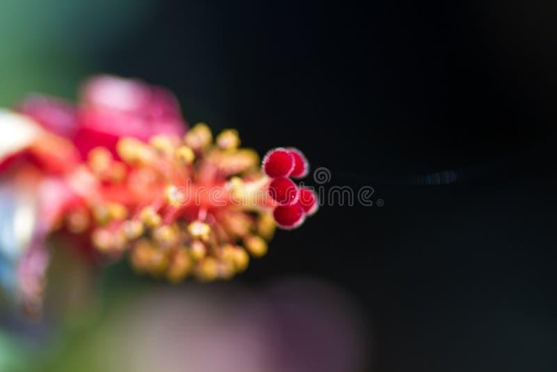 De macroclose-up van pollens van hibiscus of China nam bloem toe stock afbeelding