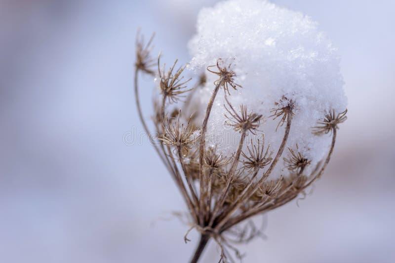 De macroclose-up van sneeuw behandelde droog wildflowerhoofd in de winter stock foto's