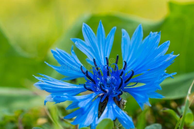 De macrofoto van blauwe bloesemkorenbloem met blured achtergrond stock foto's