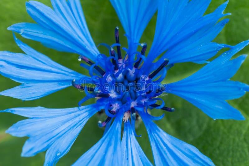 De macrofoto van blauwe bloesemkorenbloem met blured groene achtergrond royalty-vrije stock foto's