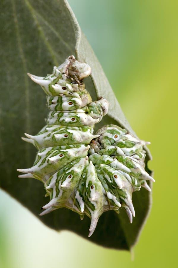 De Macrofoto van Caterpillar royalty-vrije stock foto's