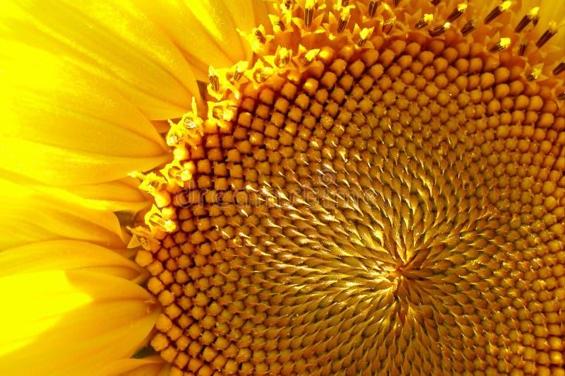 De macrofoto van de zonnebloem royalty-vrije stock afbeelding