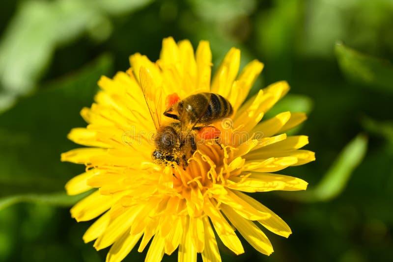 De macrofoto van een bij verzamelt nectar van een gele bloem stock foto's