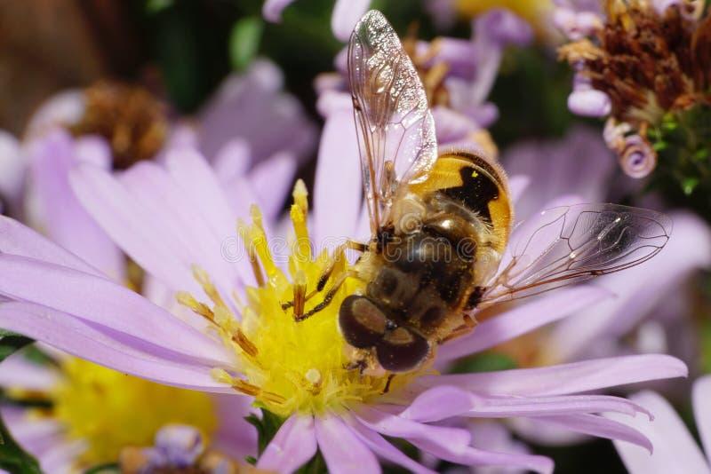 De macromening van de bovenkant van Kaukasische grote pluizige bloemvliegen is w stock fotografie