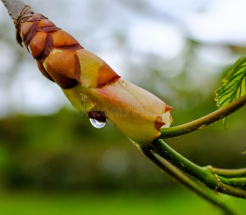 De macromening van een gezien waterdruppeltje maakte aan nieuwe spruiten op een kastanjeboom vast in de lente royalty-vrije stock afbeelding