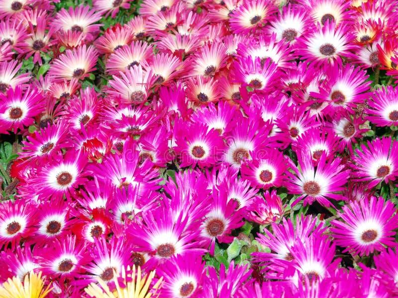 De Madeliefjes van Livingstone (criniflorum Mesembryanthemum) stock afbeeldingen