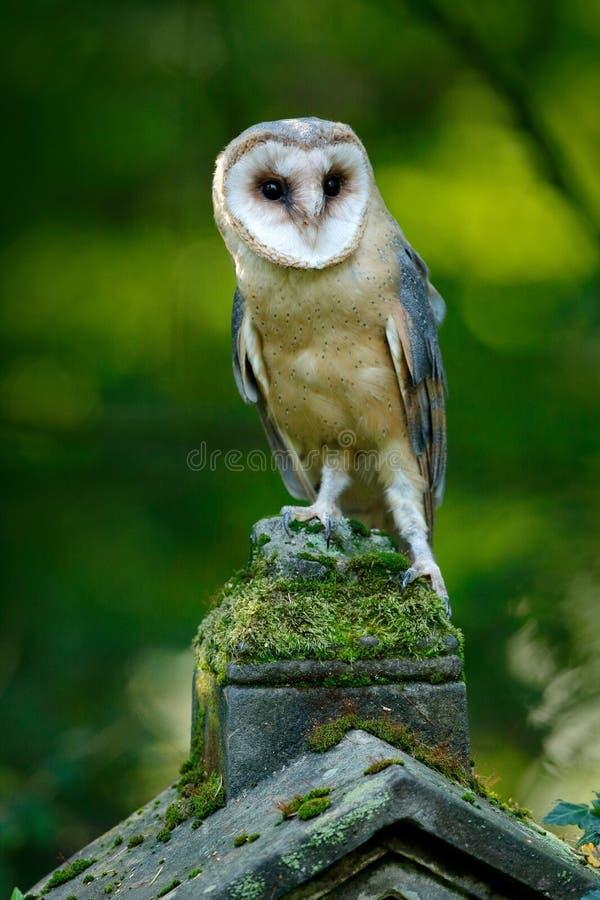De magische uil van de vogelschuur, alba Tito die, op steenomheining zitten in bosbegraafplaats De vormaard van de het wildscène  royalty-vrije stock fotografie