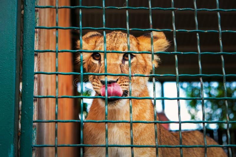 De majestueuze koning van dieren royalty-vrije stock afbeeldingen