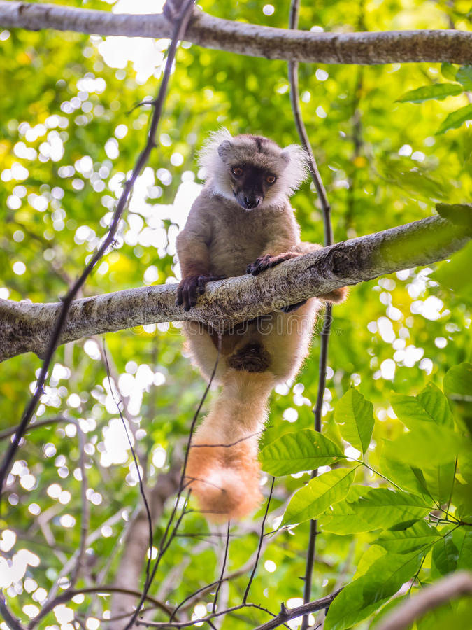 De maki in Bemoeiziek is, Madagascar royalty-vrije stock foto's