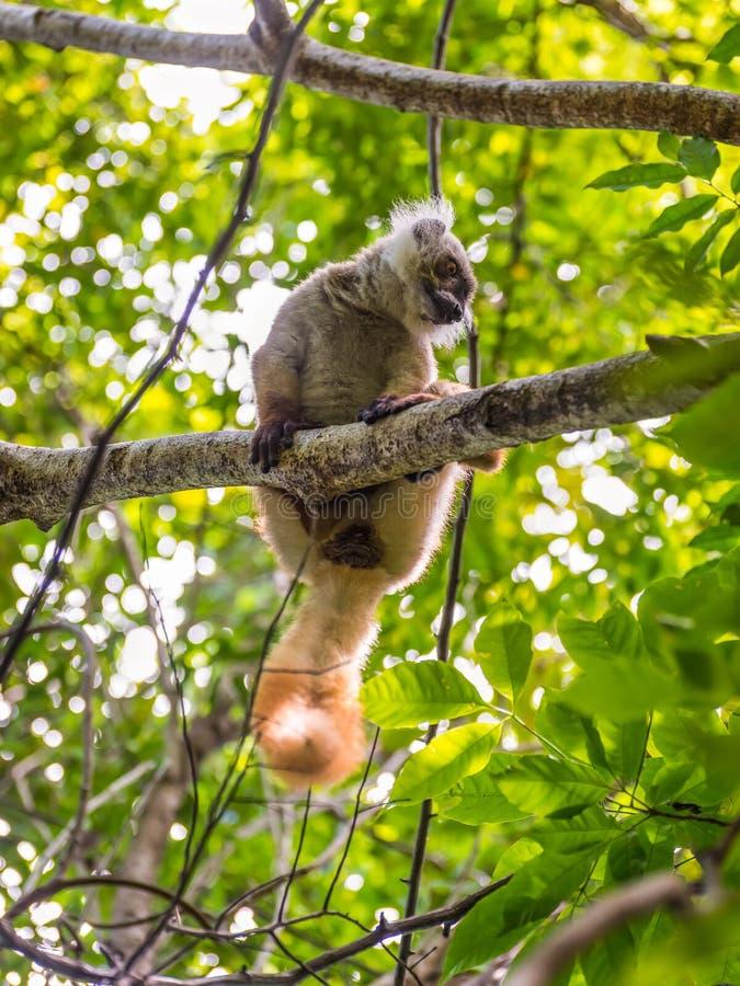 De maki in Bemoeiziek is, Madagascar stock foto's