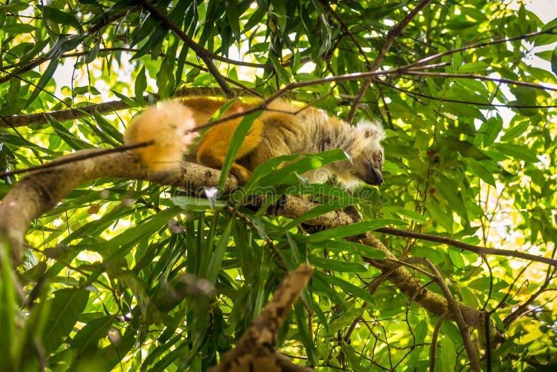 De maki in Bemoeiziek is, Madagascar royalty-vrije stock fotografie