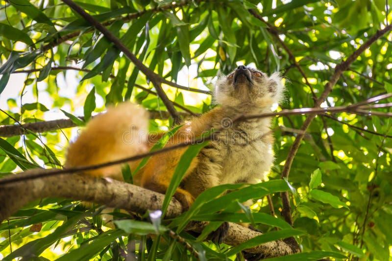 De maki in Bemoeiziek is, Madagascar stock afbeelding