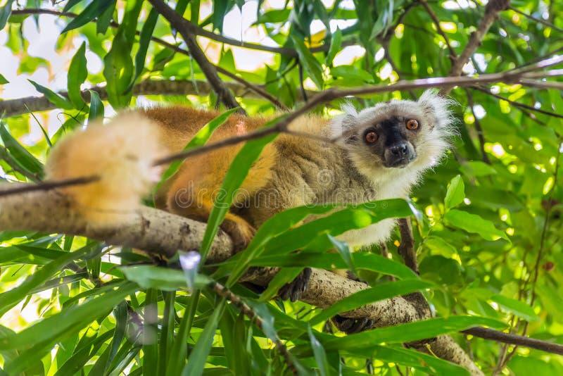 De maki op de Strikte Reserve van Lokobe in Bemoeiziek is, Madagascar stock afbeeldingen