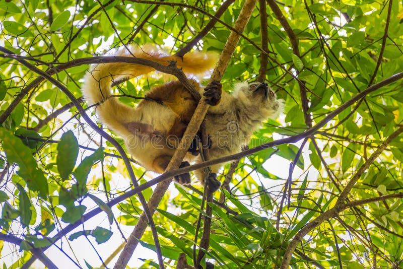 De maki op de Strikte Reserve van Lokobe in Bemoeiziek is, Madagascar stock fotografie