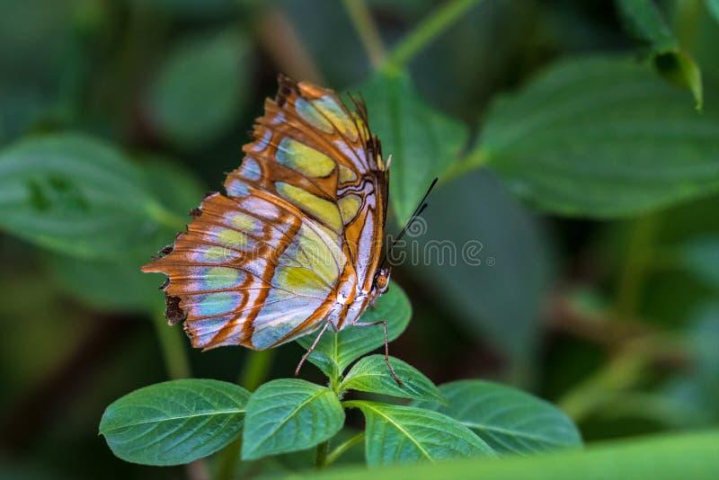 De malachietvlinder, Siproeta stelenes is een neotropical borstel-betaalde vlinder royalty-vrije stock afbeelding