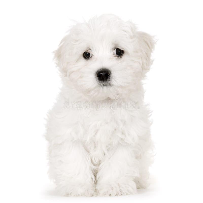 De Maltese hond van het puppy royalty-vrije stock afbeeldingen