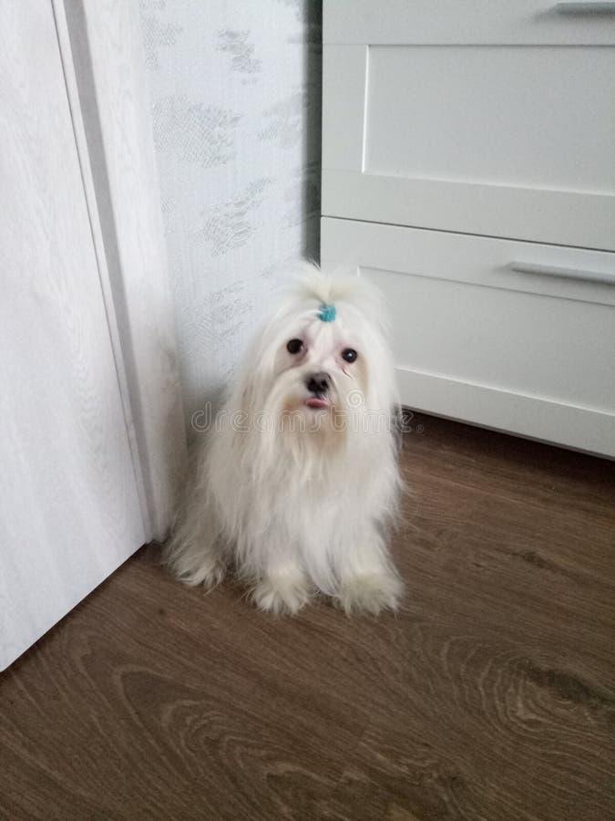De Maltese lapdog is een huisdier van kinderen en volwassenen stock foto's