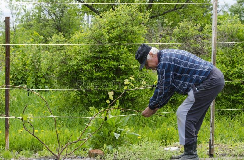 De man in het land heft druiven op royalty-vrije stock foto's