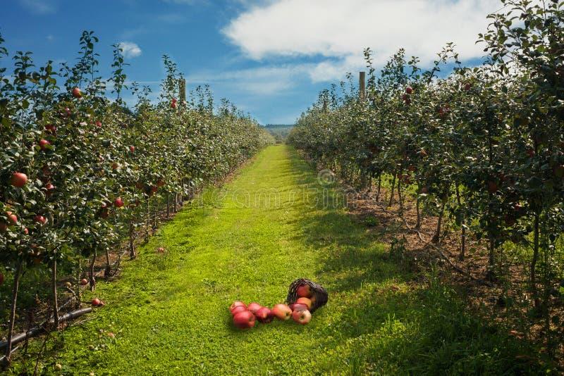 De mand met appelen is in het landbouwbedrijf onder bomen met blauwe hemel op de achtergrond royalty-vrije stock foto