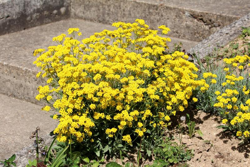 De mand van goud of Aurinia-saxatilis maakte het altijdgroene eeuwigdurende het bloeien installatie groeien in vorm van klein str royalty-vrije stock afbeeldingen