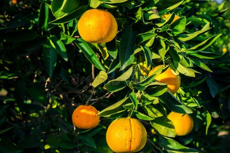 De mandarijnen hangen op een boom en zijn bijna rijp Vergeelt reeds en snoepje royalty-vrije stock fotografie