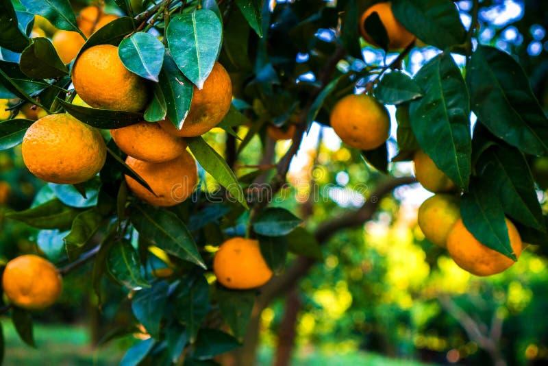 De mandarijnen hangen op een boom en zijn bijna rijp Vergeelt reeds en snoepje stock foto