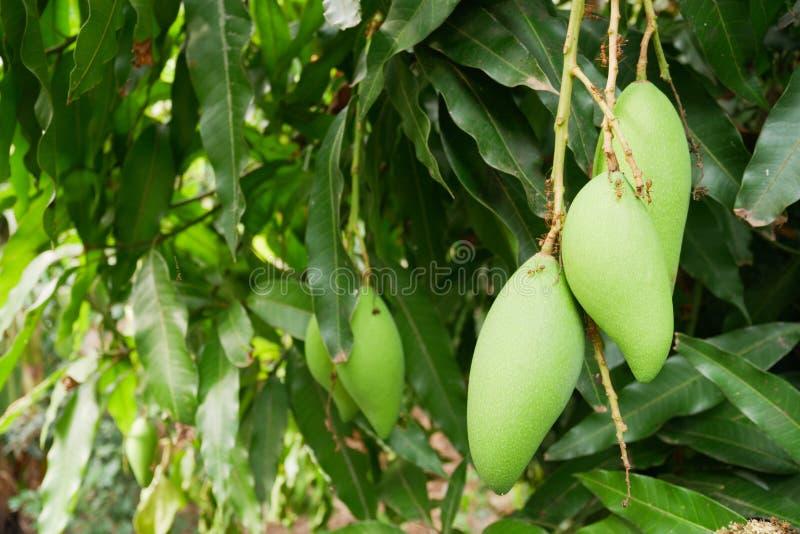 De mango is een bos op een boom met rode mier royalty-vrije stock afbeeldingen