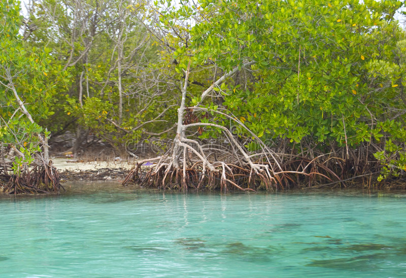 De Mangroven van Cancun royalty-vrije stock afbeeldingen