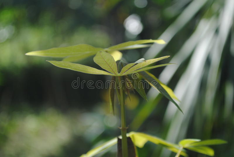 De maniok doorbladert stock foto's