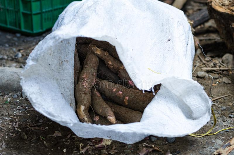 De maniok, riep maniok, yuca, balinghoy, mogo, ook mandioca, kamoteng kahoy, tapioca en maniokwortel, een bosrijke struik van stock foto