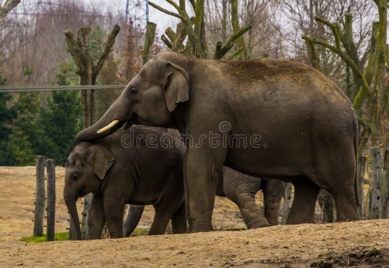 De mannelijke Aziatische olifant die zijn boomstam over zijn jonge olifant zetten, dierlijk familieportret van een vader en een j royalty-vrije stock foto's