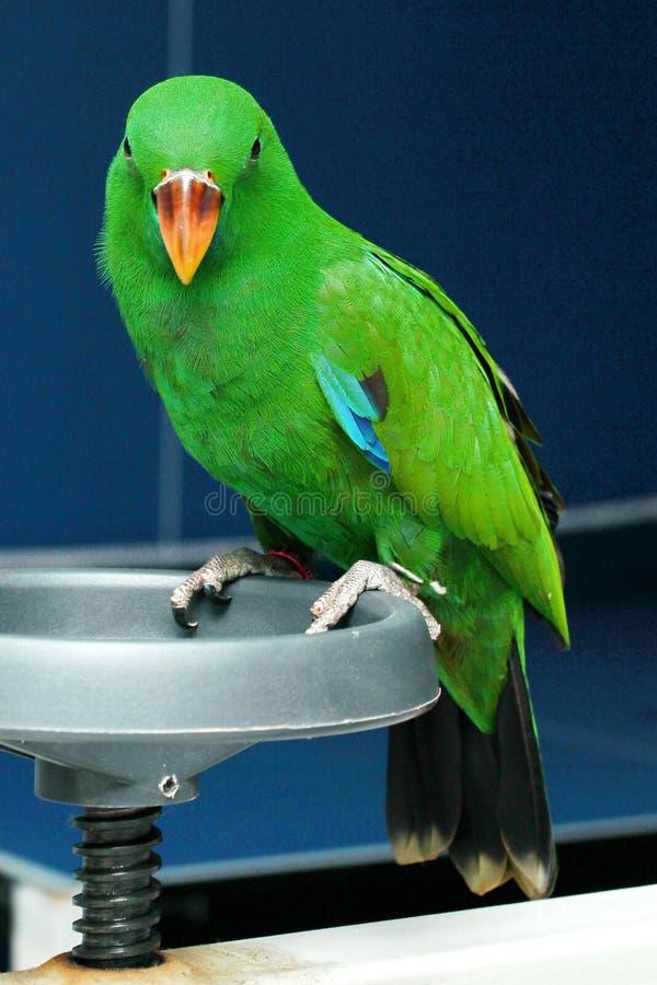 De mannelijke Eclectus-Papegaai, veroudert twee maanden stock fotografie