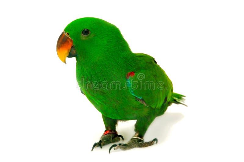 De mannelijke Eclectus-Papegaai, veroudert vijf maanden stock afbeelding