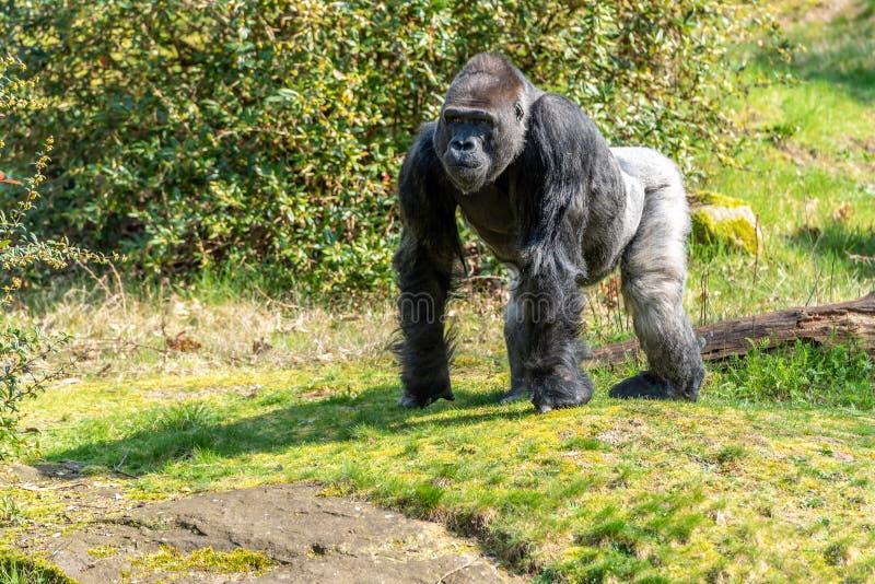 De mannelijke gorilla kijkt over het water royalty-vrije stock afbeeldingen