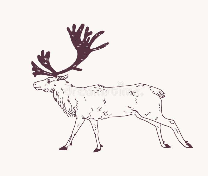 De mannelijke herten, het rendier of het mannetje met schitterende geweitakken overhandigen getrokken met contourlijnen op lichte vector illustratie