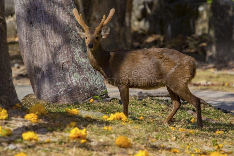 De mannelijke herten van Eld ` s, Thamin, brow-Antlered herten op gebied stock afbeelding