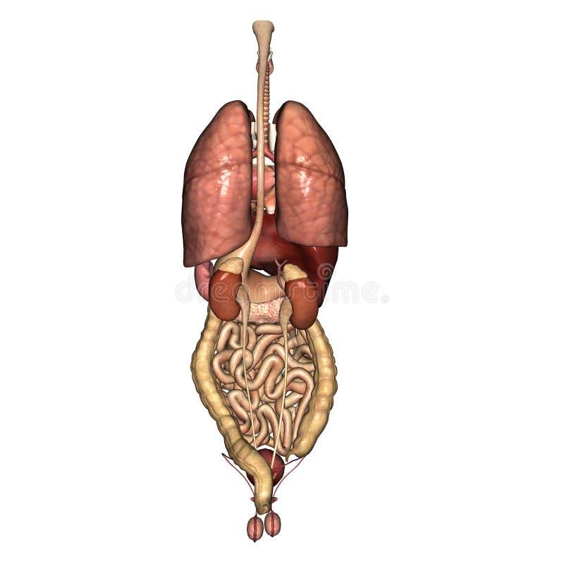 De mannelijke interne achtermening van de Anatomie stock illustratie