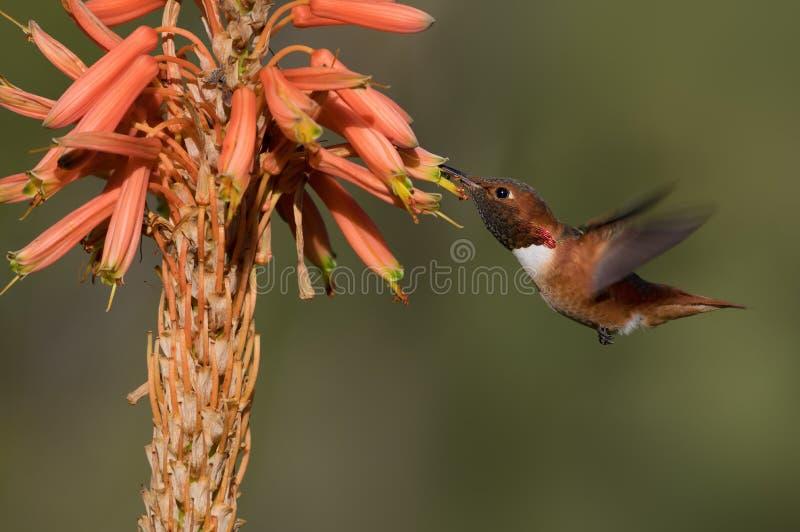 De mannelijke Kolibrie van Allen ` s royalty-vrije stock afbeeldingen
