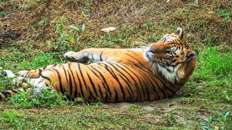 De mannelijke koninklijke tijger die van Bengalen comfotably op gras ontspannen stock afbeelding